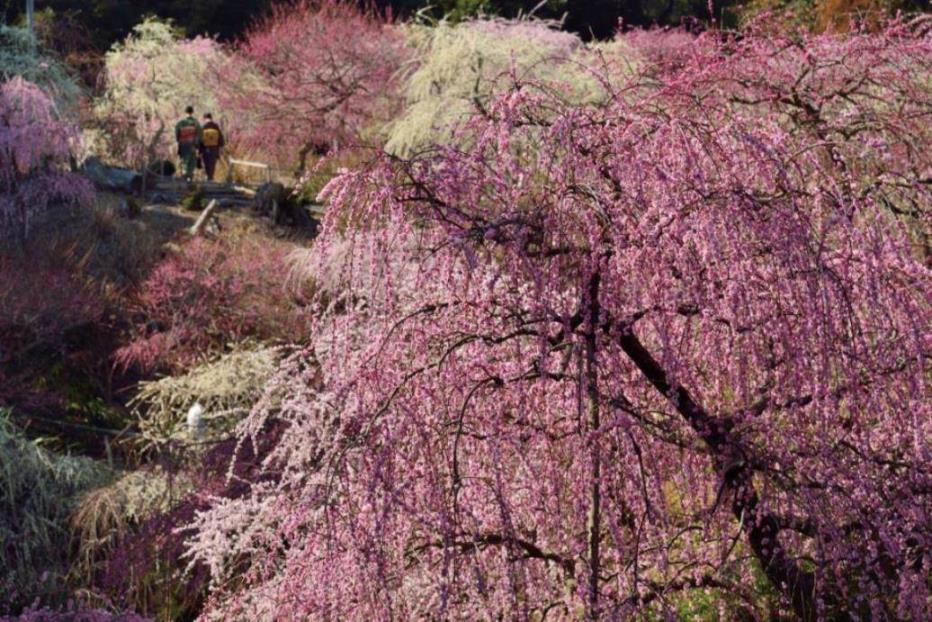 画像: <花めぐり・プレミアムステージ>『華やかな4つのしだれ梅めぐりと早春のはままつフラワーパーク 2日間』【東京出発】<バス1人2席/23名様限定>|クラブツーリズム