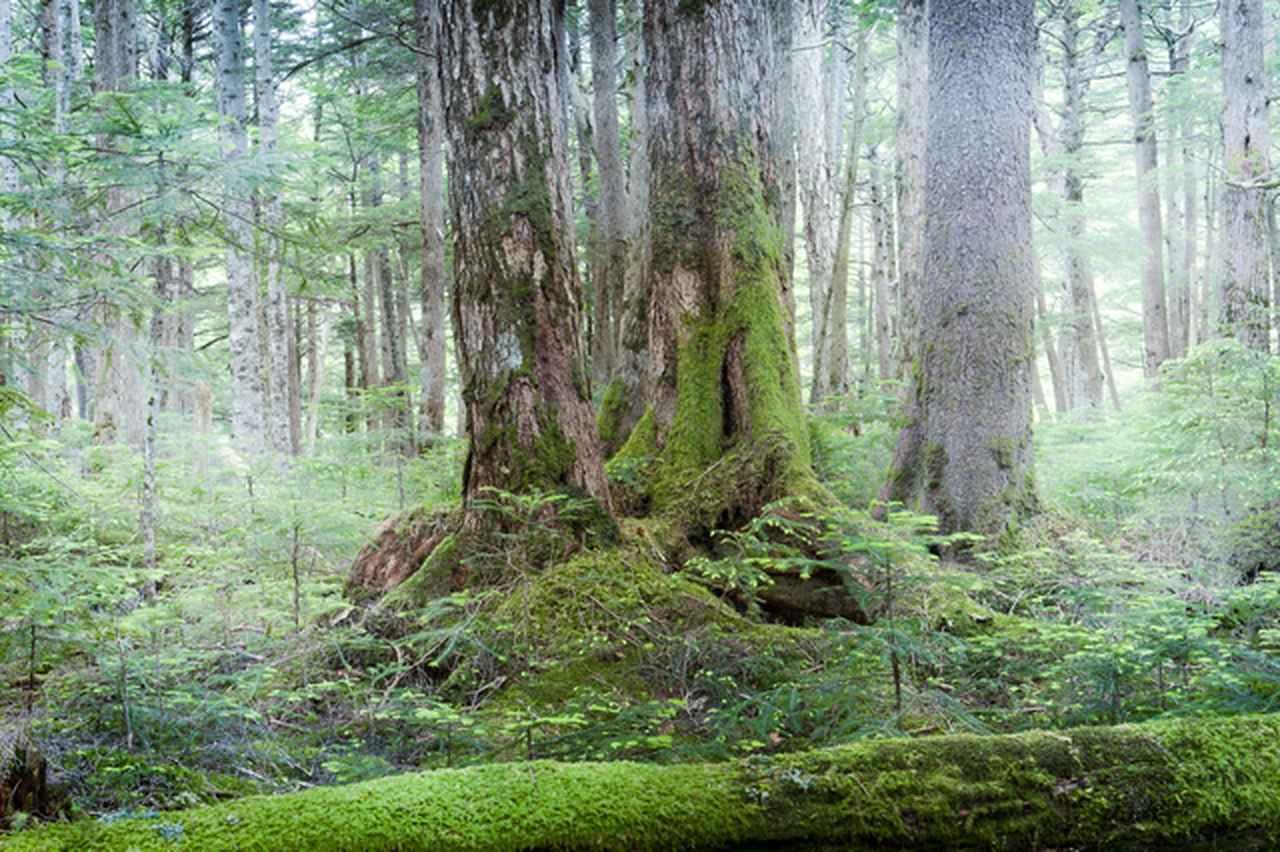 画像: 北八ヶ岳エリア の白駒池