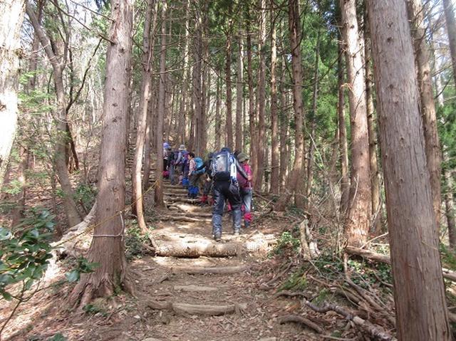 画像4: 【山旅会】角田山はカタクリ咲くの花の名山でした!