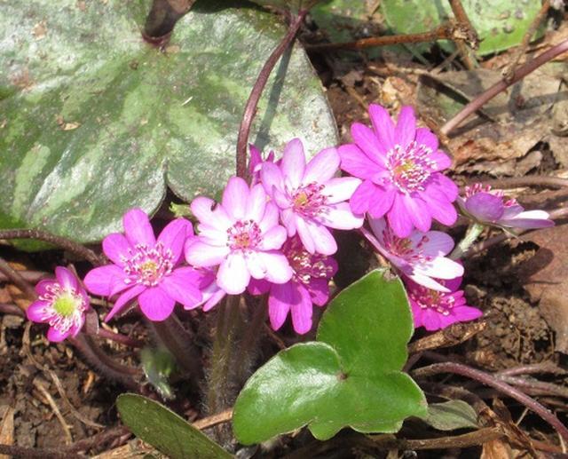 画像3: 【山旅会】角田山はカタクリ咲くの花の名山でした!