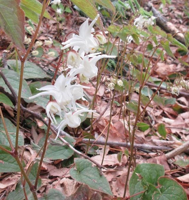 画像6: 【山旅会】角田山はカタクリ咲くの花の名山でした!