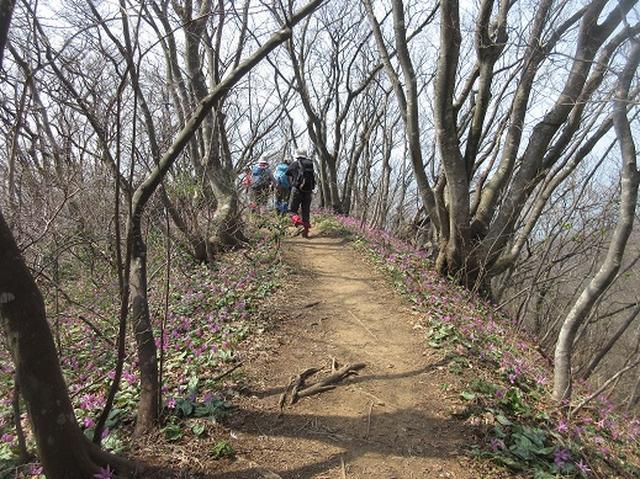 画像8: 【山旅会】角田山はカタクリ咲くの花の名山でした!