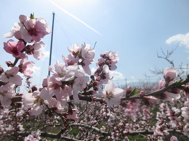 画像10: 【山旅会】オオムラサキ自然歩道と新府桃源郷