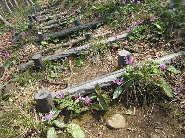 画像11: 【山旅会】角田山はカタクリ咲くの花の名山でした!