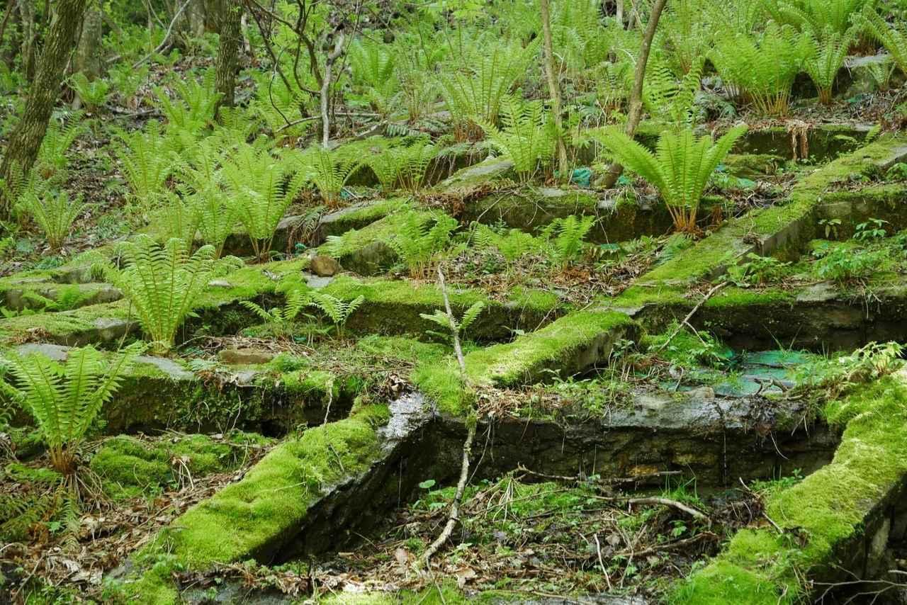 画像5: 次回おすすめのハイキングイベントは…こちら! チャンスは五年に1度! 初夏の駒ケ岳山麓「秘境しらび林道ウォーキング」日帰りツアーです。