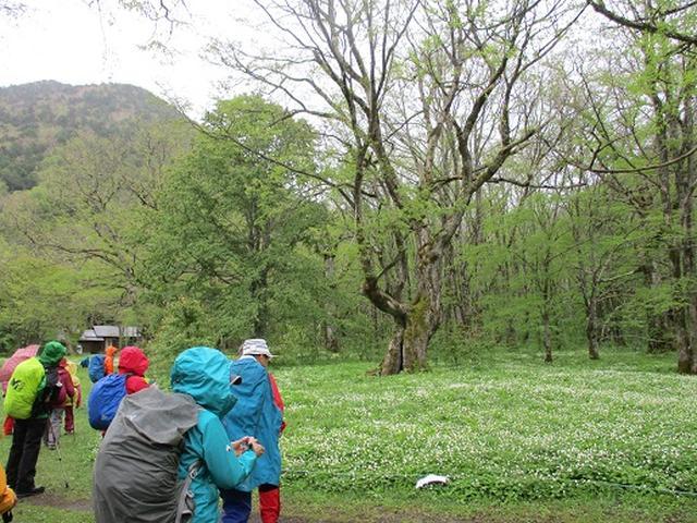 画像11: 【山旅会】ニリンソウ咲く上高地