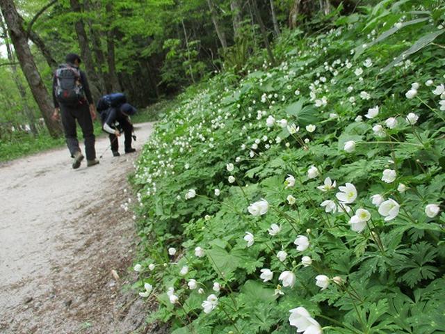 画像8: 【山旅会】ニリンソウ咲く上高地