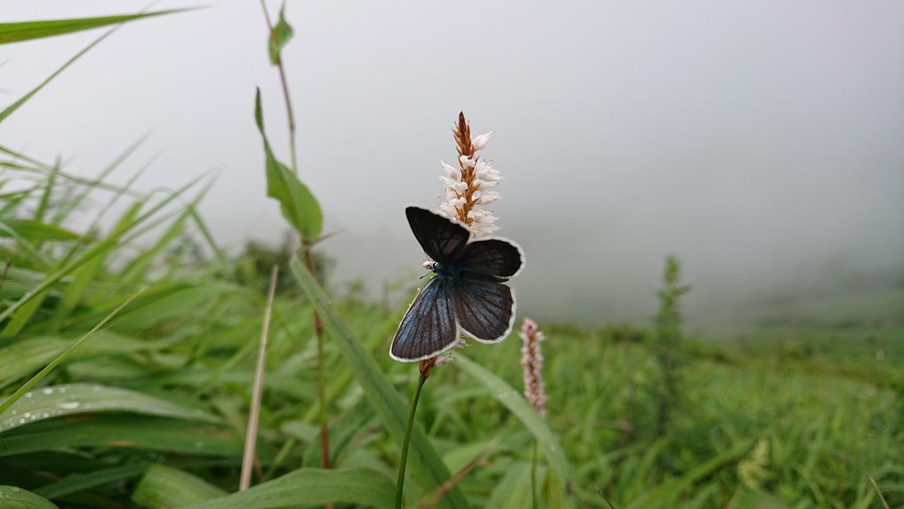 画像: イブキトラノオに止まる蝶