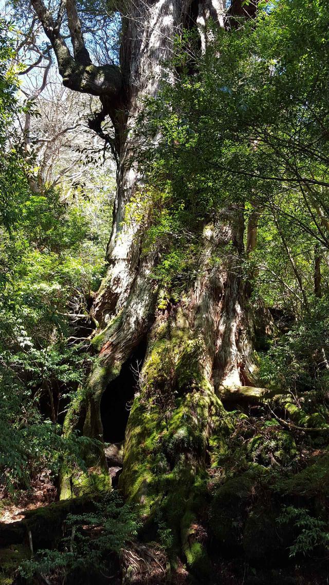 画像: 光を浴びた縄文杉