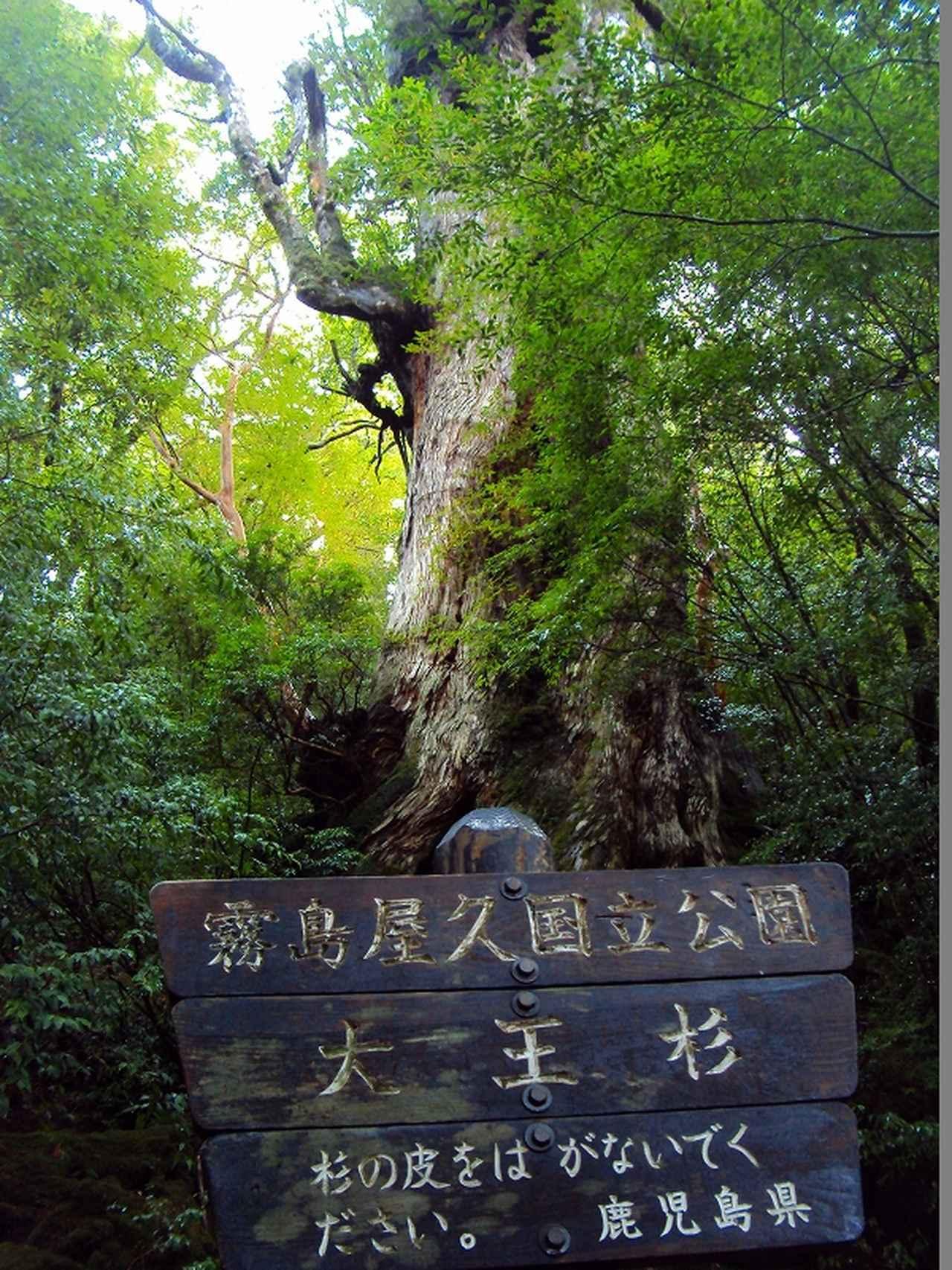 画像: 大王杉