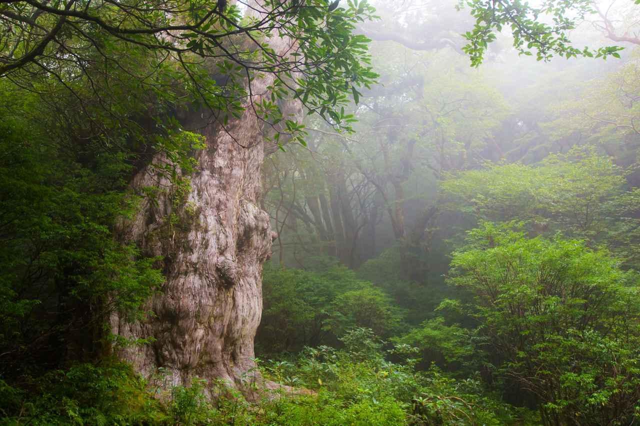 画像: 霧の中の縄文杉