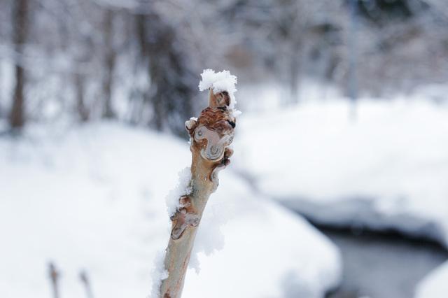 画像: かわいらしい冬芽 羊の顔のように見えませんか?