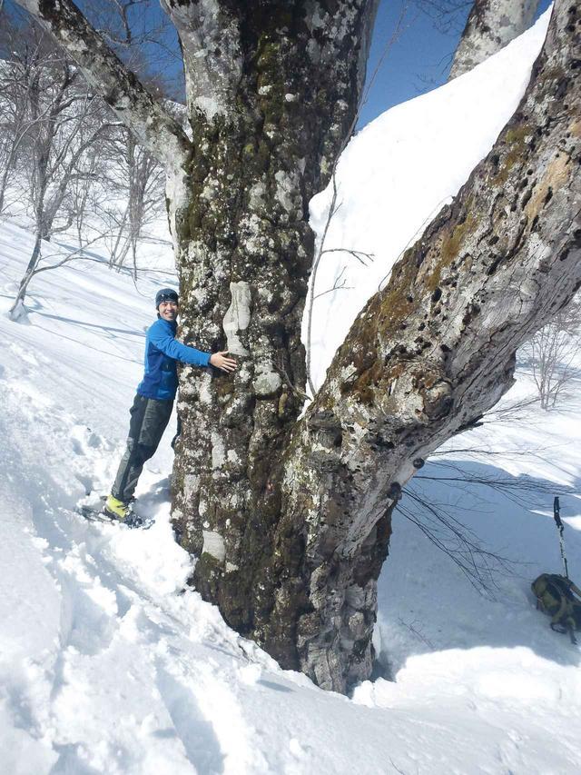 画像: ■巨木(写真は鍋倉高原) 夏は深いヤブに覆われて近づく事のできない巨木にも、間近で触れる事ができます。