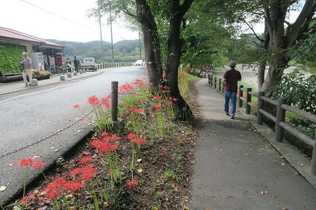 画像3: 【山旅会・登山ガイドこだわりツアー】岡田ガイドからの便り・巾着田から日和田山に下見にいってまいりました!