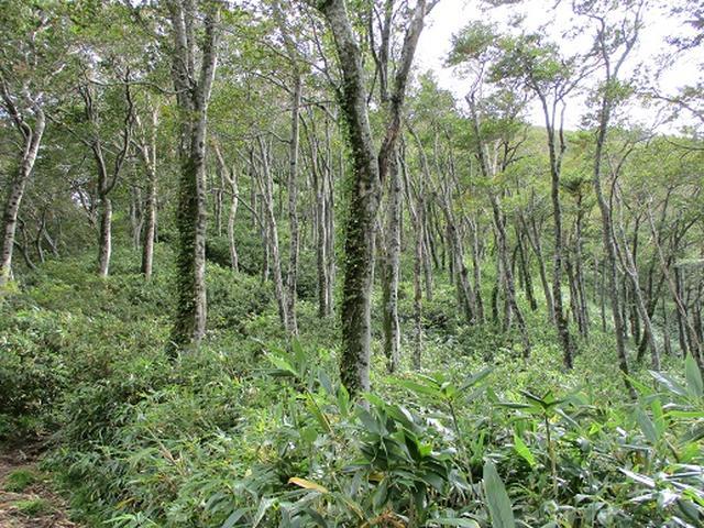 画像5: 【山旅会・登山ガイドこだわりツアー】岡田ガイドからの便り・白神山地・二ツ森に下見にいってまいりました!