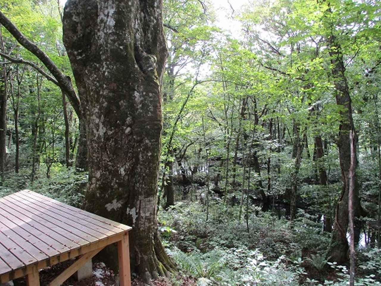 画像7: 【山旅会・登山ガイドこだわりツアー】岡田ガイドからの便り・白神山地 十二湖に下見にいってまいりました!