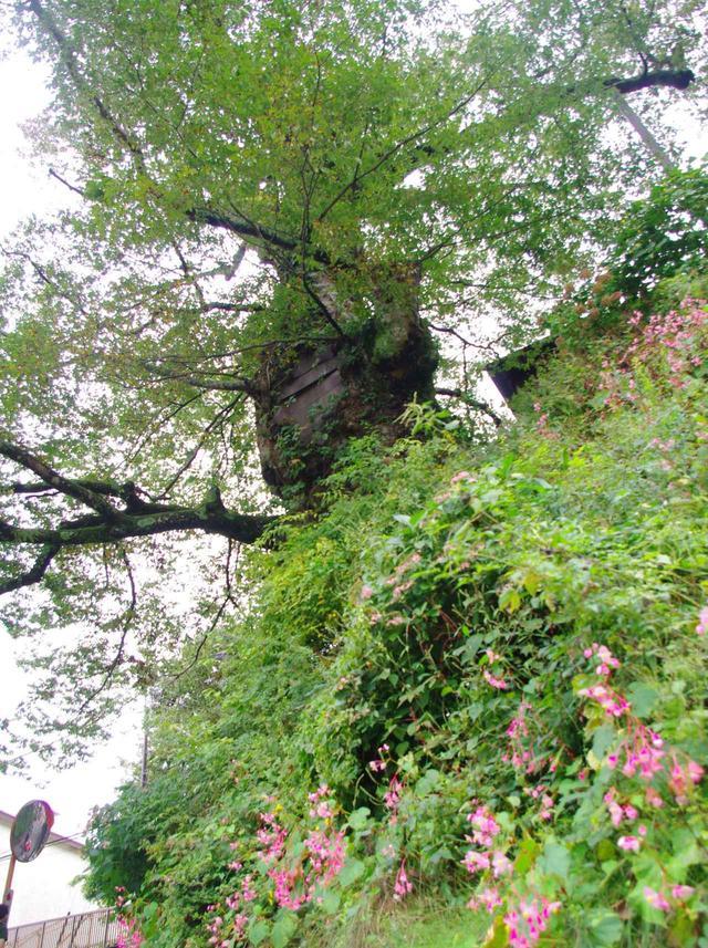 画像: 武蔵御嶽神社の手前の坂を登っている途中で出会う樹齢約1000年のケヤキ。圧巻です!