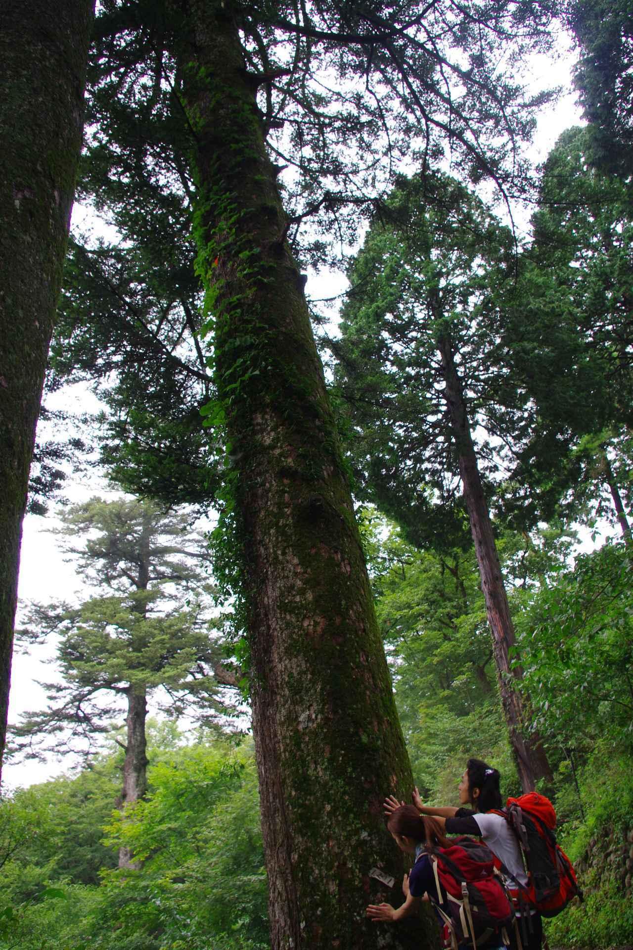 画像: 樹齢何百年!?巨木にタッチ!
