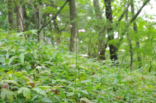 画像: レンゲショウマのお花が咲いてました!(※我々が訪れたのは9月中旬だったので、時期的に見頃は終わっています)