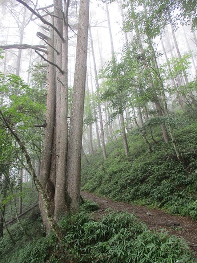 画像4: 【山旅会・登山ガイドこだわりツアー】岡田ガイドからの便り・夜叉神峠から高谷山ツアーの下見にいってまいりました!