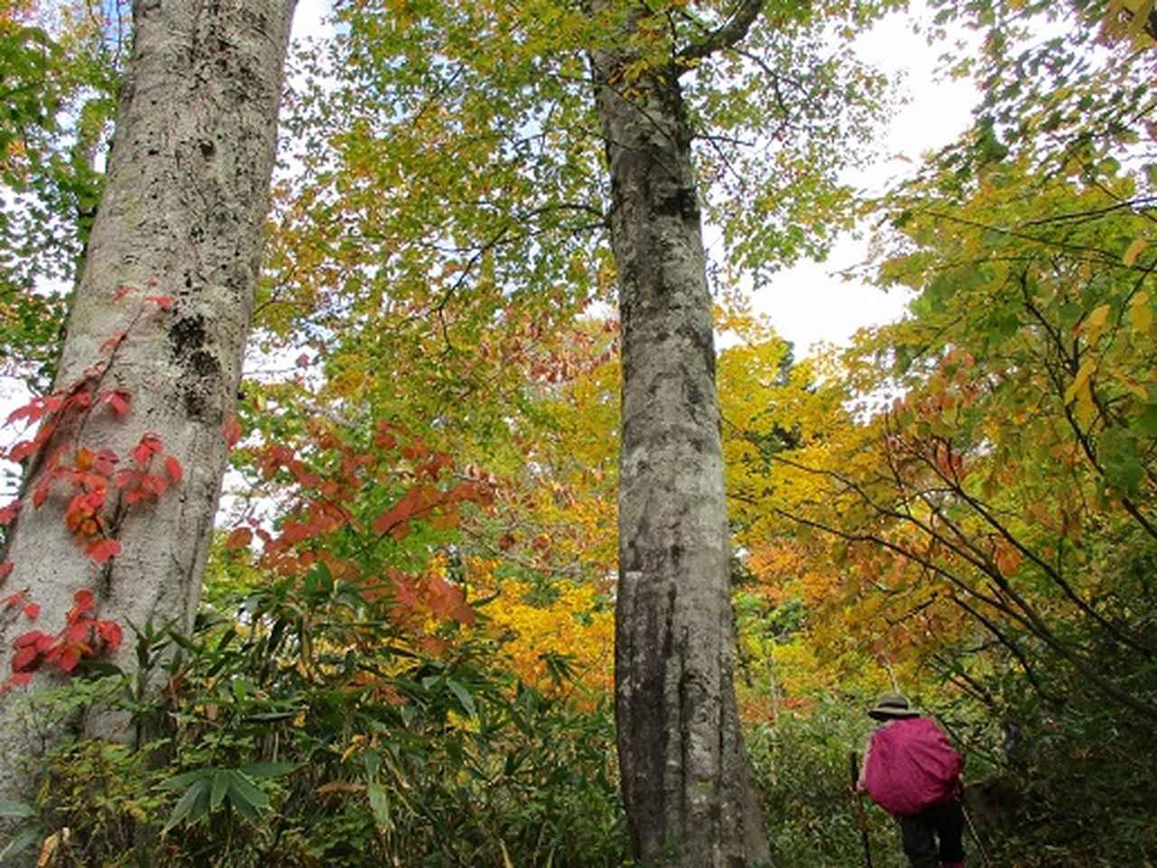 画像8: 【山旅会・登山ガイドこだわりツアー】添乗員からの便り・尾瀬燧裏林道ツアーにいってまいりました!(その3)