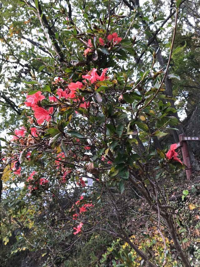 画像: 鮮やかなピンクのツツジのお花。