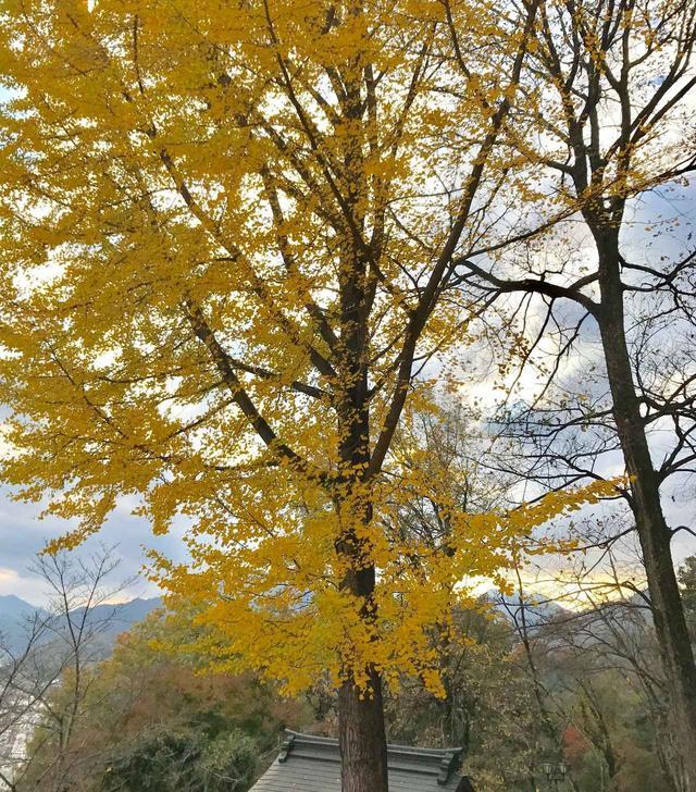 画像: イチョウの木。紅葉が見事です。