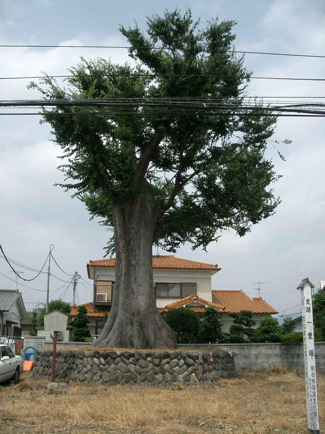 画像: 第9回:新島一里塚のケヤキ