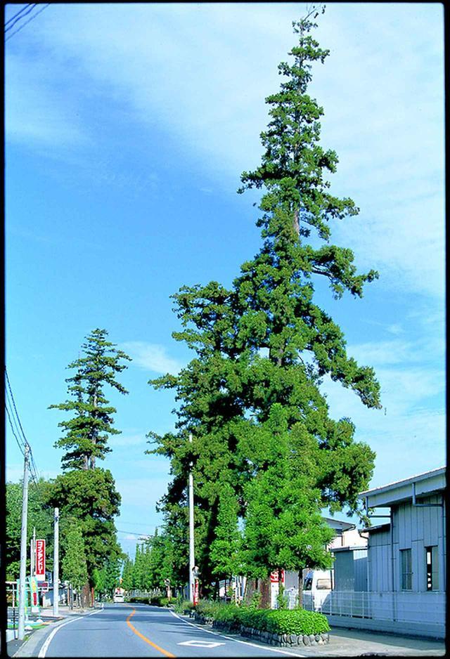 画像: 第15回:原市杉並木(安中市観光課提供)