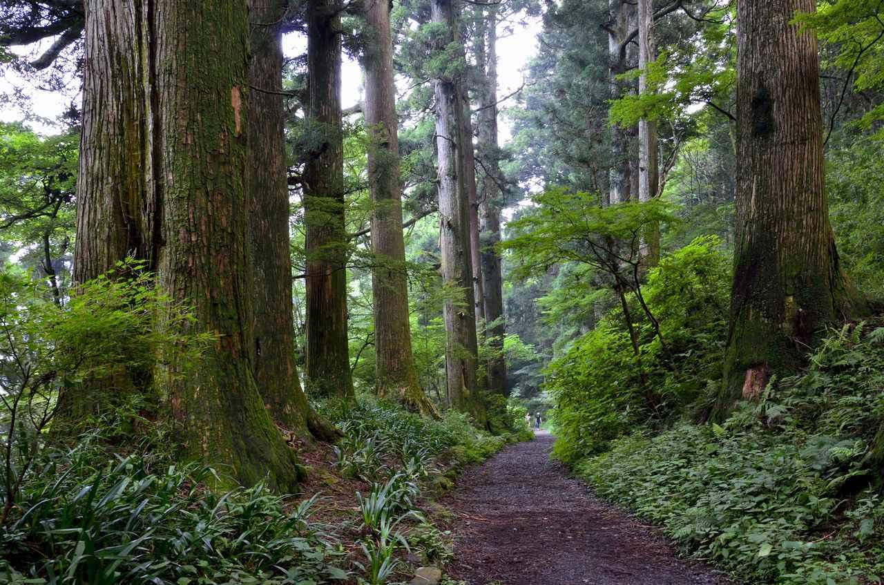 画像: 箱根旧街道の杉並木