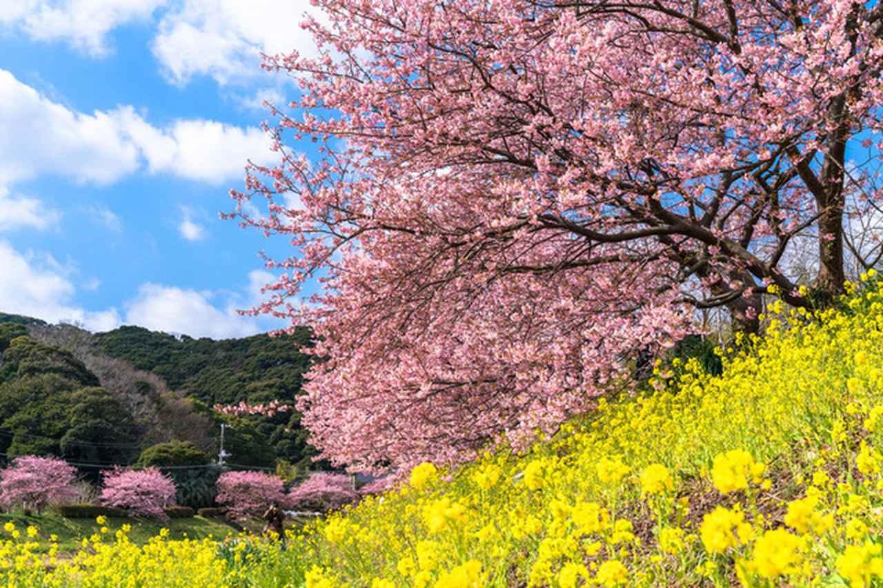 画像: 【写真撮影の旅・河津桜まつりを撮ろう】