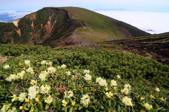 画像: キバナシャクナゲ咲く硫黄岳