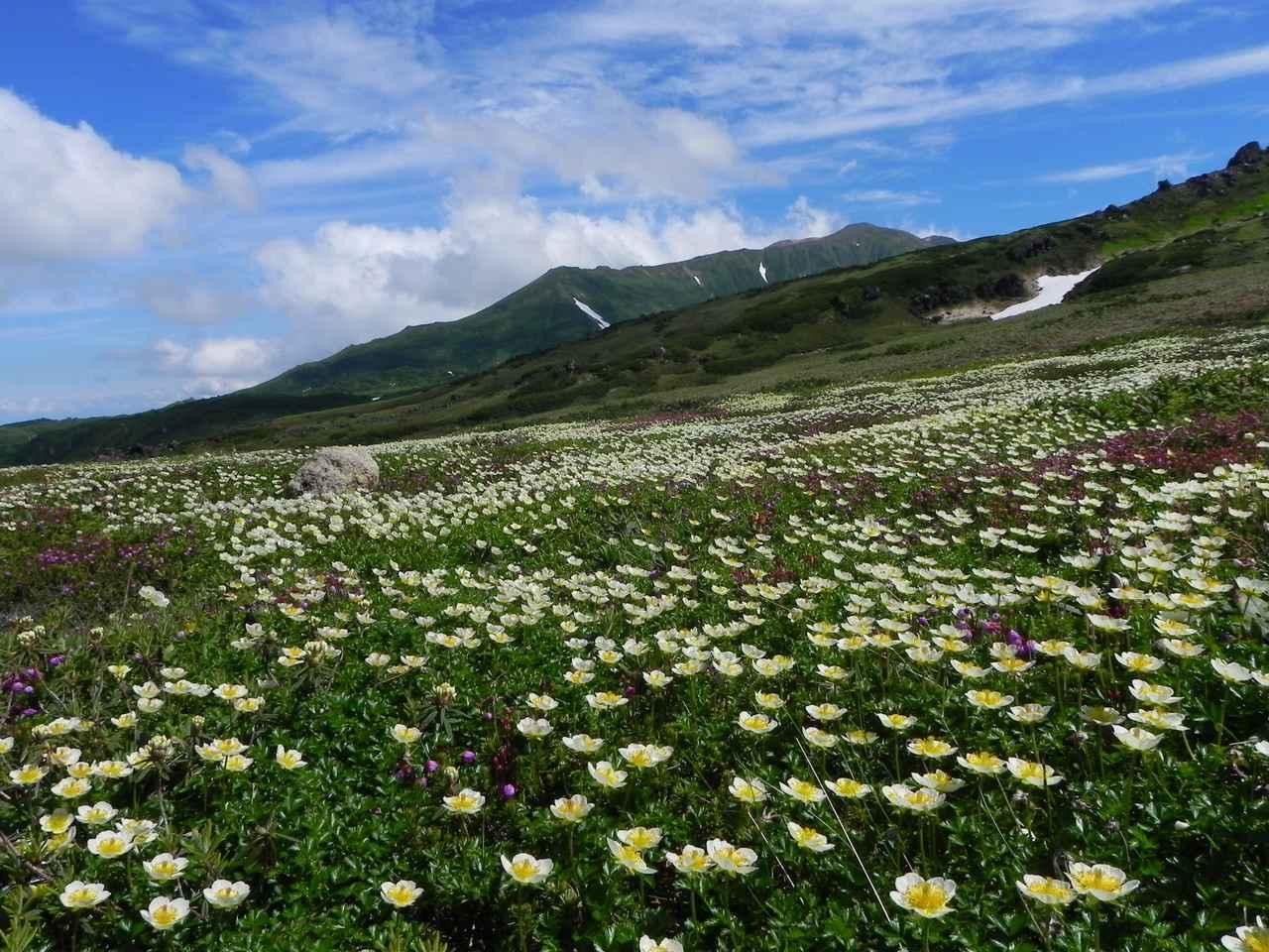 画像: 旭岳・裾合平のお花畑