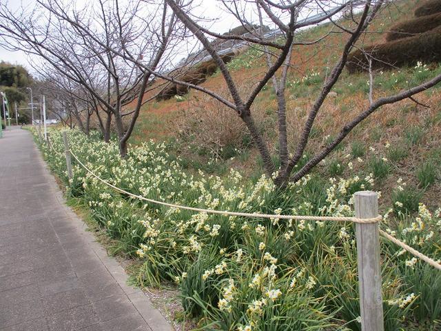 画像2: 1月の山旅会ハイキング 「とみやま水仙遊歩道と濃溝の滝」 の下見のご報告です!