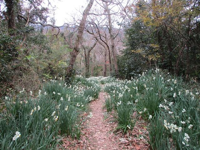 画像7: 1月の山旅会ハイキング 「とみやま水仙遊歩道と濃溝の滝」 の下見のご報告です!