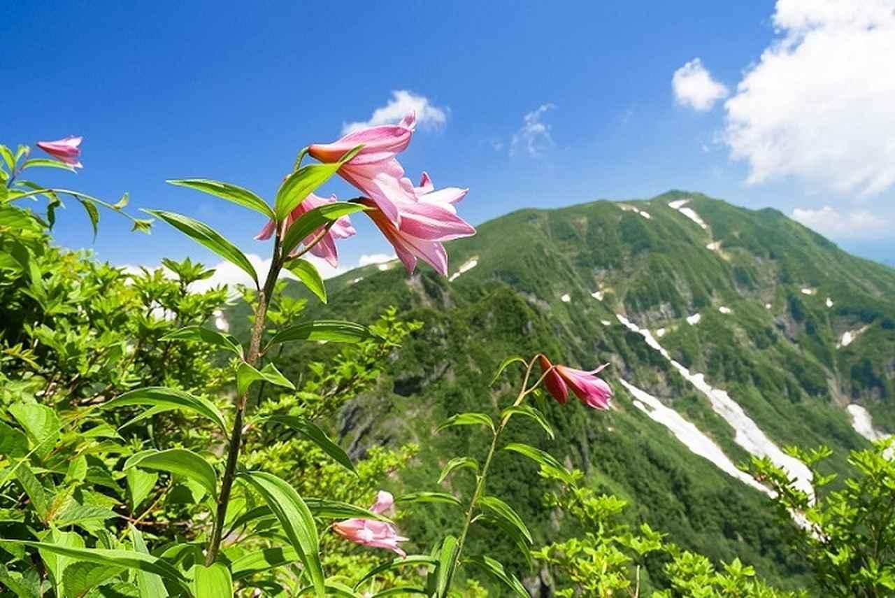 画像: ヒメサユリと浅草岳(イメージ※見ごろは例年6月下旬~7月上旬)