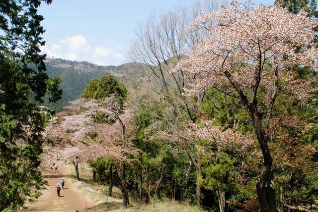 画像: 高尾山の桜(イメージ※見ごろは例年4月上旬~中旬)