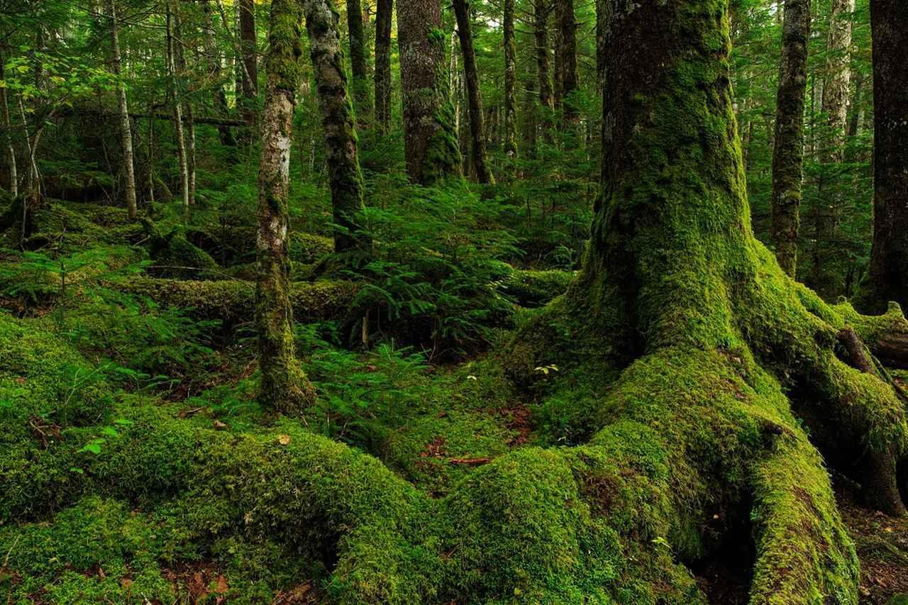 画像: 白駒池の苔(イメージ)