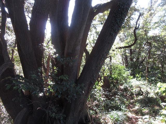 画像10: 【山旅会・登山ガイドこだわりツアー】岡田ガイドからの便り・三浦半島中尾根から乳頭山の下見にいってまいりました!