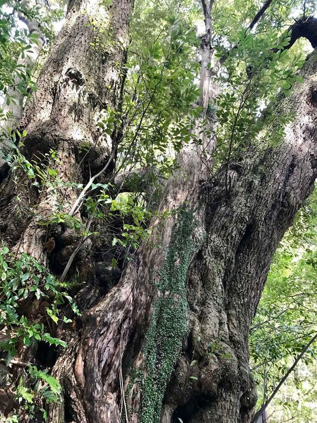 画像: お寺の奥には立派な杉の巨木