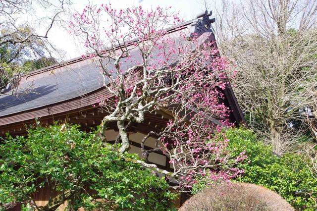 画像: 早雲寺に寄り道。ピンクの梅の花。可愛い♪