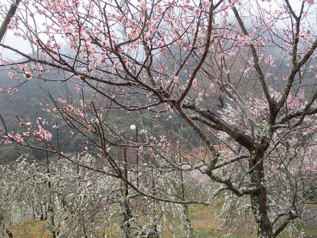 画像10: 2月28日に山旅会 「幕山と南郷山」 ツアーに行ってきました!