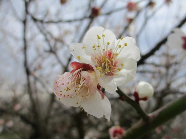 画像8: 2月25日に岡田ガイドのツアーで 曽我丘陵 へ行って来ました♪