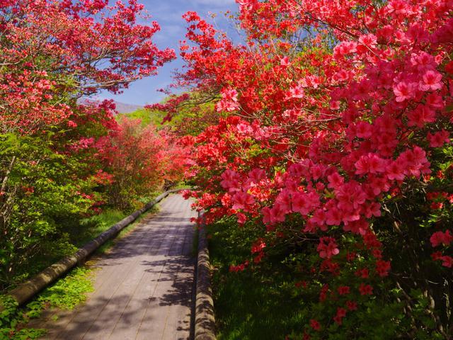 画像: 八幡のツツジ(例年の見ごろは5月下旬~6月上旬/第2回にてご案内)