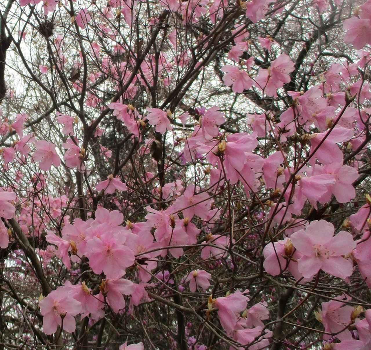 画像8: 3月30日に山旅会 「草戸山から城山カタクリの里」 コースへ行ってきました!
