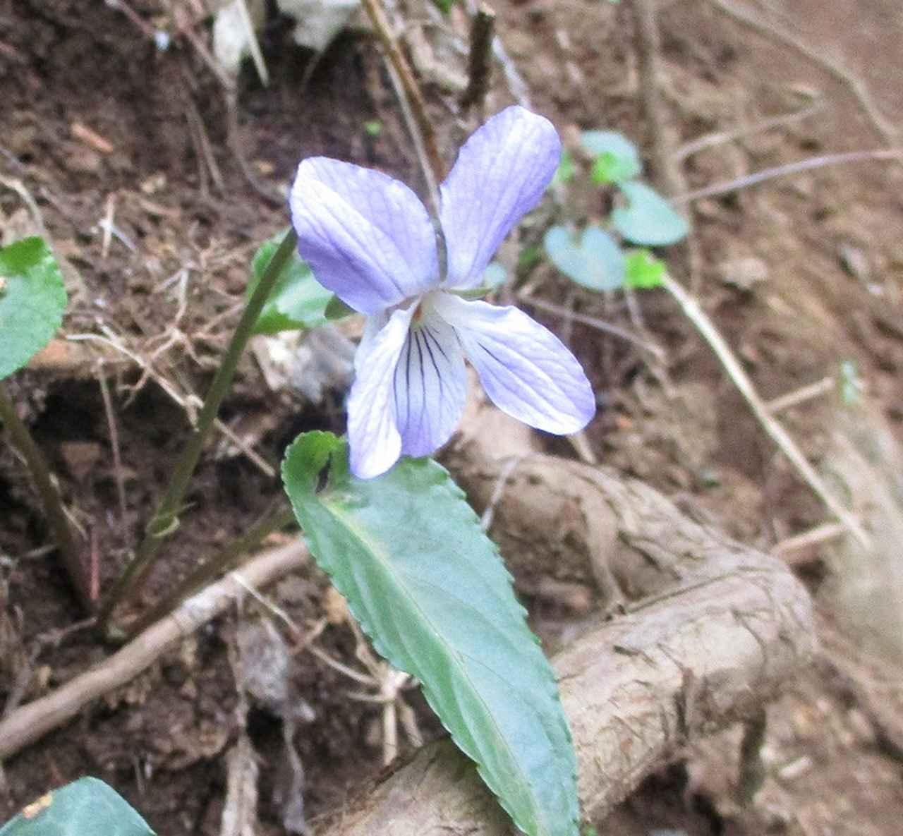 画像3: 3月30日に山旅会 「草戸山から城山カタクリの里」 コースへ行ってきました!
