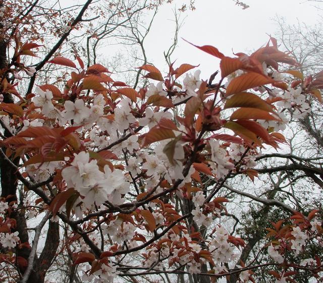 画像6: 3月30日に山旅会 「草戸山から城山カタクリの里」 コースへ行ってきました!