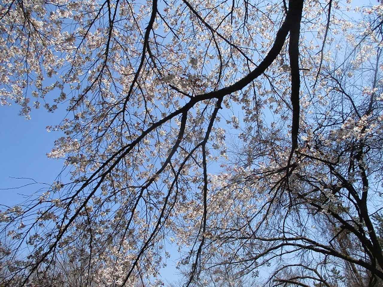 画像6: 4月6日に山旅会 「箱根・湯坂路」 ツアーに行ってきました!