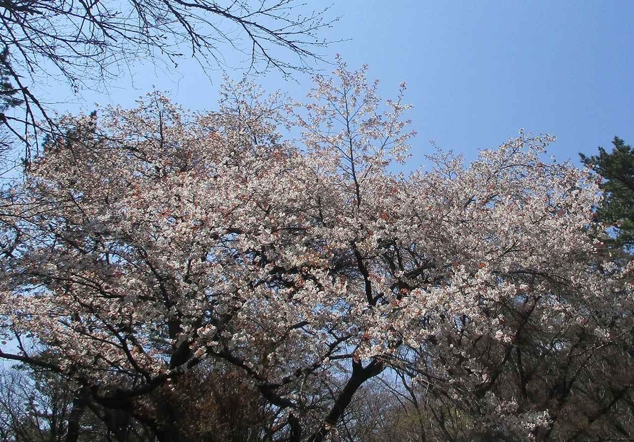 画像7: 4月6日に山旅会 「箱根・湯坂路」 ツアーに行ってきました!