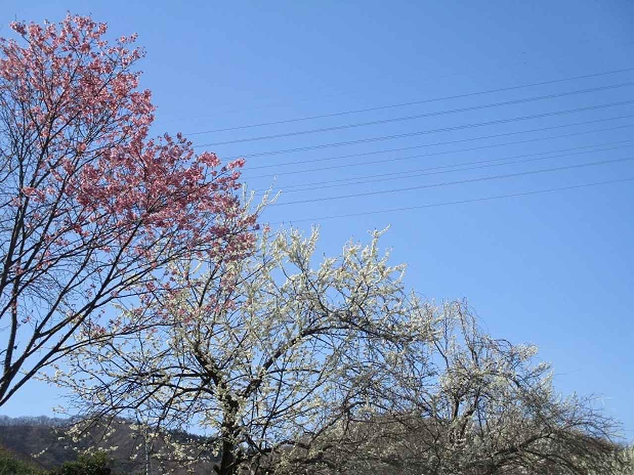 画像2: 4月5日に岡田ガイドのコースで群馬県の桜で有名な 「牛伏山」 へ行ってきました♪
